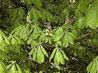 Община Сливен ще извърши трикратна дезинсекция на кестеновите дървета