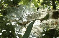 Пръскане срещу бяла американска пеперуда в Ямбол