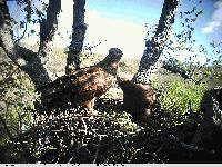Най-потайният вид орел у нас гнезди в ямболско. Вижте снимки
