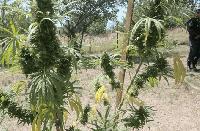 Намериха марихуаната на 28-годишен в Тамарино