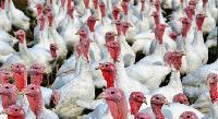 До края на годината обезщетяват собствениците за щетите от птичия грип