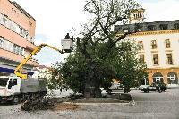 От изсъхнали клони на стария бряст в Сливен резбари ще изработят сувенири
