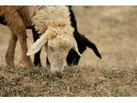 Oбезщетяват стопаните на засегнатите от чума животни с държавна помощ de minimis