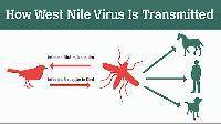 Община Бургас предупреждава за потенциална опасност от заразяване със западнонилска треска
