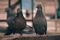 """Изследват проби от умрели диви гълъби в община Болярово за """"птичи грип"""""""