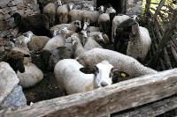 ОДБХ в Ямбол е сключила договори с ветеринари за профилактични прегледи на животните