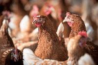 БАБХ глоби фирма заради нехуманно отношение към кокошки