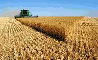 458 килограма на декар е средният добив на пшеница в ямболско
