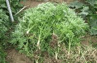 Окриха канабисови растения в село Меден кладенец