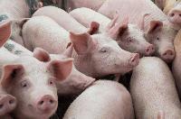 Уволняват служителка разпоредила да се изколят прасетата в Старозагорско