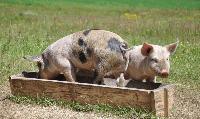 Дисциплинарен съвет ще изслуша служителката, изпратила писма да се колят прасетата