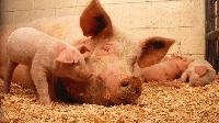 Бедствено положение в Свищов заради чумата по свинете