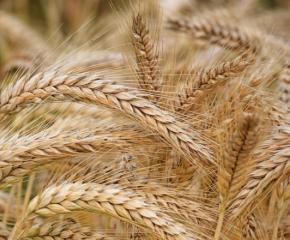 По-високи добиви на ечемик и пшеница очакват в Ямболско