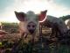 АЧС е заличила 15% от поголовието на домашната свиня в България