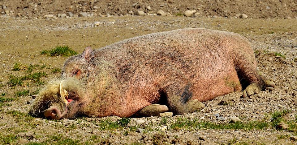 Африканска чума по свинете е регистрирана отново по диви прасета в ямболско преди дни. Два глигана, носители на заразата, са намерени мъртви при обход...