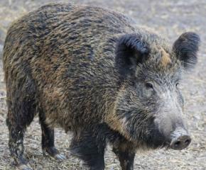 Африканска чума по свинете и в Царево