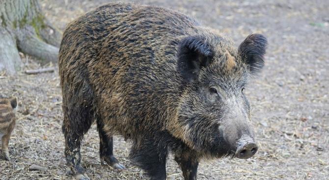 Случай на африканска чума при дива свиня е регистриран в община Царево, съобщи БНР. Забранява се движението на хора и превозни средства в горските стопанства...