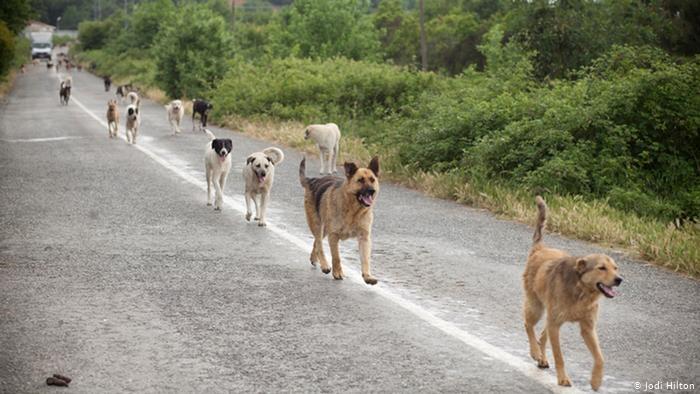 Мерки срещу свободно скитащите кучета предприема община Болярово. В обръщение към стопаните на кучета от общинската администрация напомнят, че след навършването...
