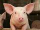 БАБХ констатира огнище на чума по свинете във Варненско