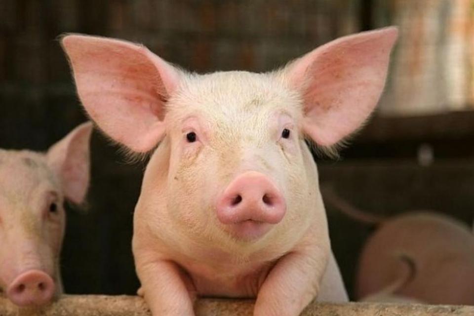Българска агенция по безопасност на храните (БАБХ) констатира огнище на Африканска чума по свинете (АЧС) в стопанство за отглеждане на животни от породата...