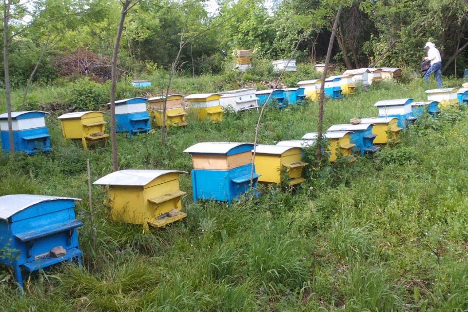 """Само един сигнал за подмор на пчели е получен от началото на годината в Областна дирекция """"Земеделие"""" в Ямбол, съобщават от агенцията за безопасност на..."""