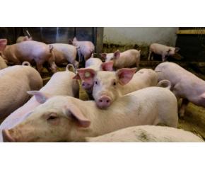 БАБХ потвърди огнище на АЧС в индустриална ферма в с. Никола Козлево
