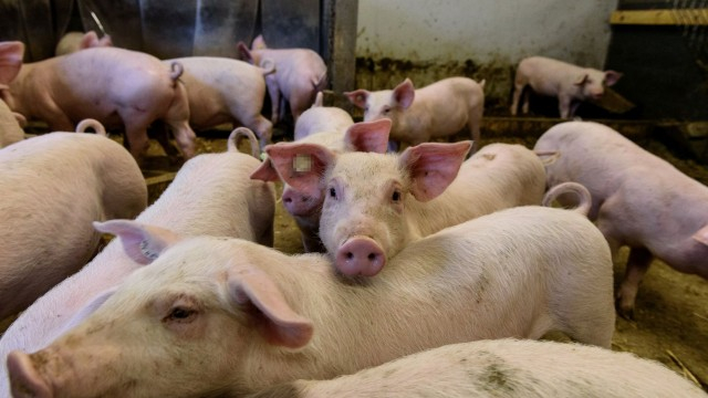Българската агенция по безопасност на храните (БАБХ) констатира огнище на Африканска чума по свинете (АЧС) в индустриална ферма в с. Никола Козлево, област...