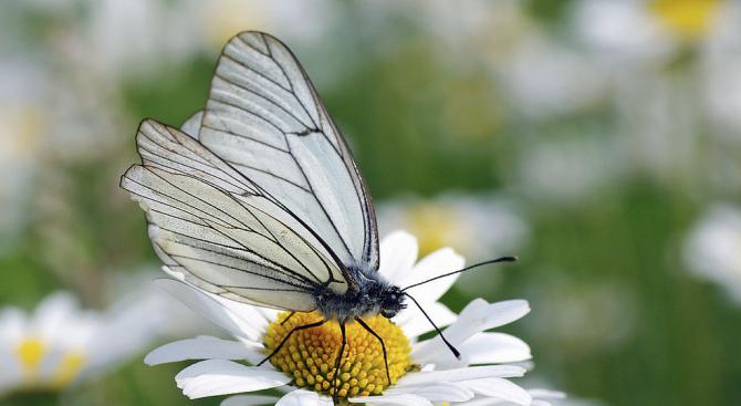 Пръскане срещу бяла американска пеперуда беше извършено на територията на община Ямбол, след като проверка констатира наличие на ларви на пеперуди (гъсеници)...