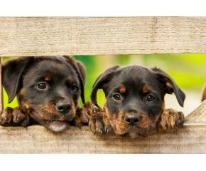 Безплатни кастрации на домашни кучета в Перник