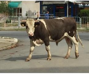 Бик се разхожда в жилищен квартал в Ямбол (снимки)