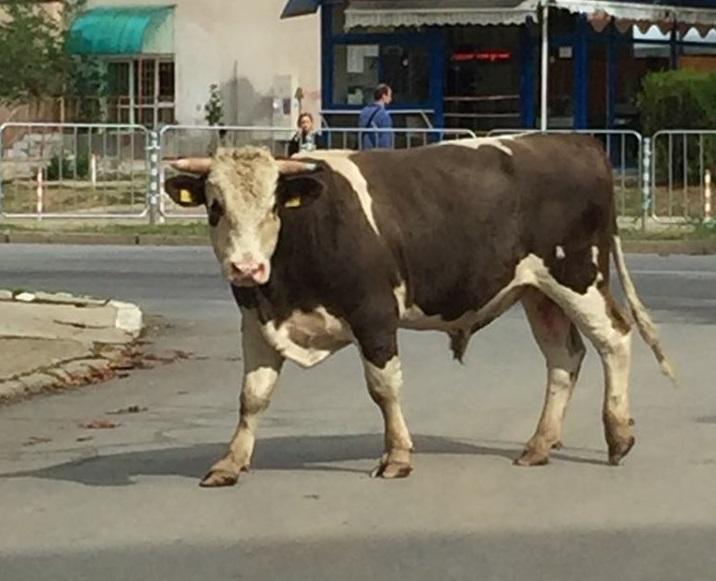 """Бик се разхожда в ямболския квартал """"Граф Игнатиев"""". За това сигнализира слушател на 999 и изпрати до редакцията ни снимки на животното.""""Засега животното..."""