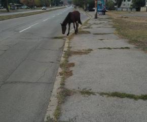 Бикове и коне обикалят из Ямбол – СПООР си траят, няма да има и глоби