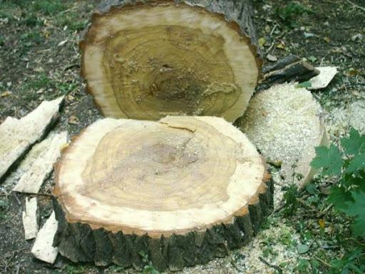 Близо 1000 незаконно отсечени дървета са констатирали горските инспектори само за последната седмица, сочат данни на Агенцията по горите. Част от нарушенията...