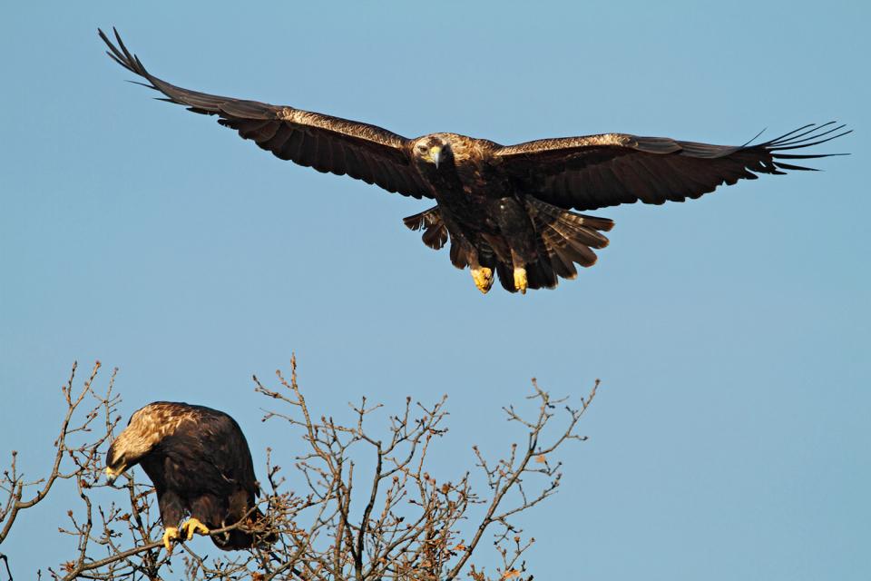 Нови три двойки от световно застрашения царски орел откри екип на Българското дружество за защита на птиците (БДЗП) в началото на м. март в района на град...