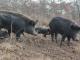 България е на път да изгуби древен вид свиня заради Африканската чума