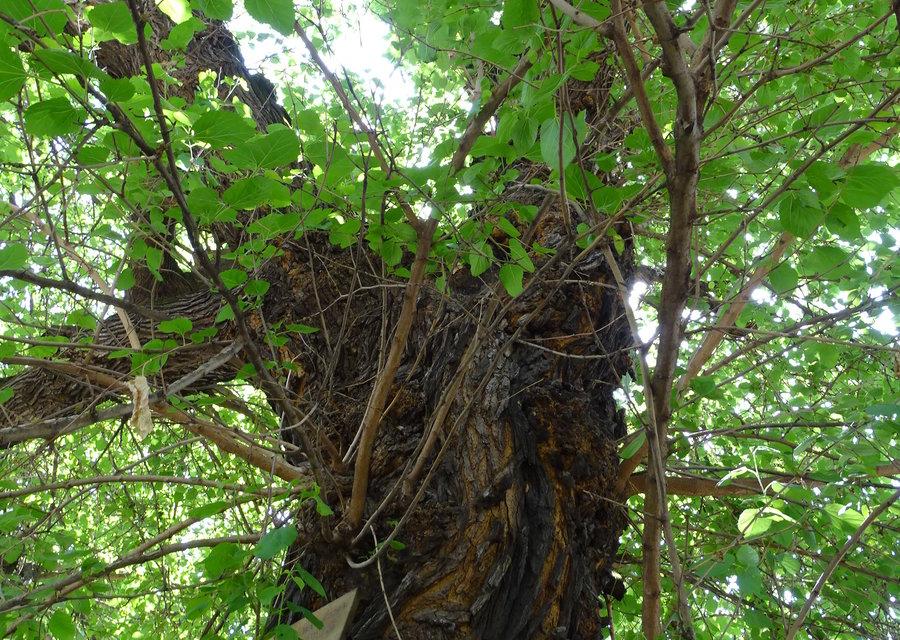 """Черница на повече от сто години в двора на средното училище """"Св. Паисий Хилендарски"""" в село Скалица, община Тунджа, е обявена за защитен природен обект,..."""