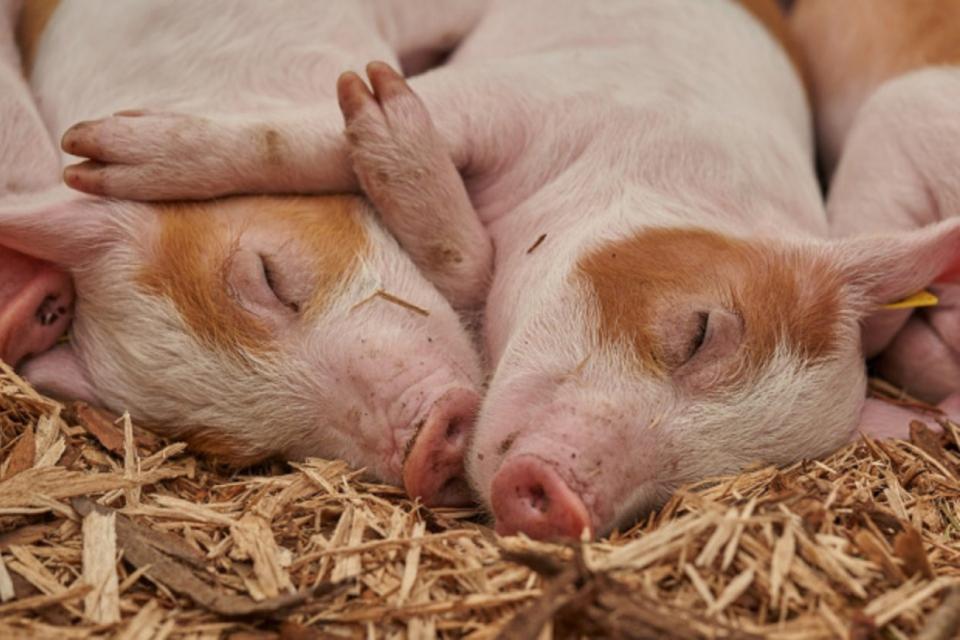 Първи доказан случай на африканската чума по свинете е регистриран в Сливен. Това потвърди за 999 д-р Петър Пенчев, директор на Областната агенция по безопасност...