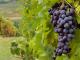 Дискутират перспективите на лозаро-винарския сектор в Югоизточна Европа