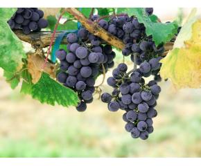 Добра реколта, но ниски изкупни цени на гроздето в Пазарджишко