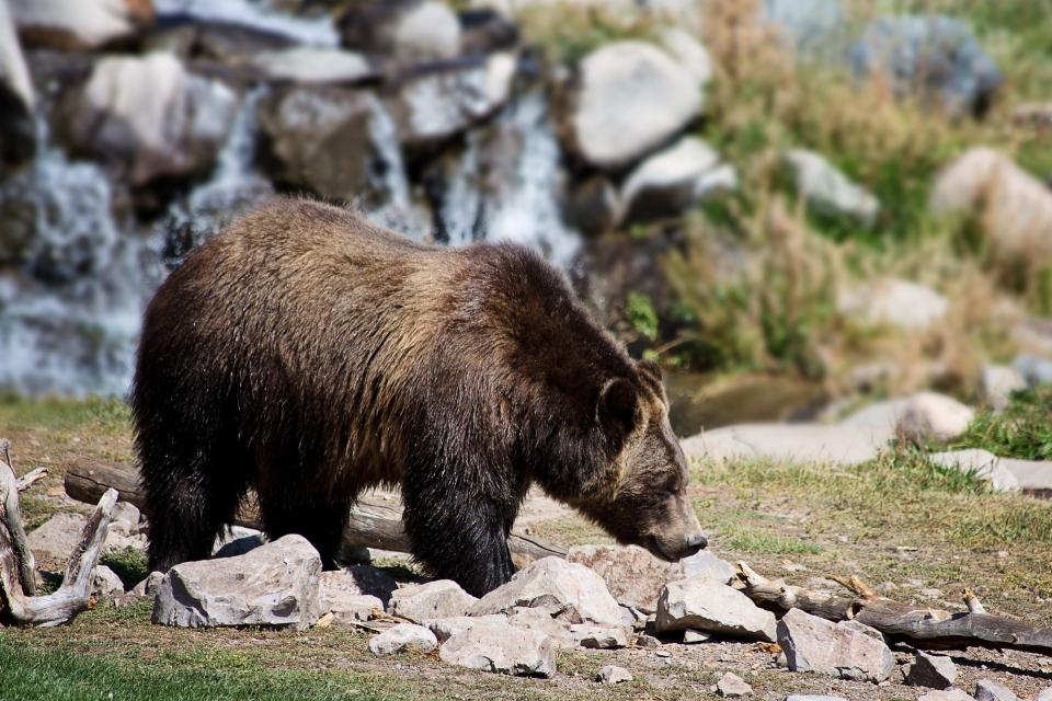 Жителите на три родопски села – Арда, Горна Арда и Могилица, вече месец се оплакват от набезите на мечка с две малки. Тя влиза в оборите на хората и избива...