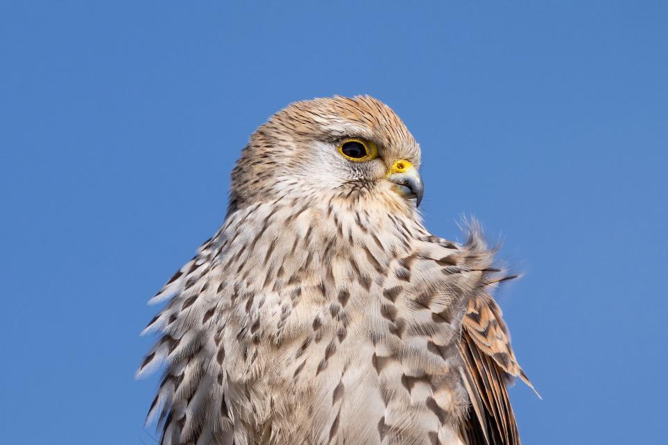 """Експерти от Природен парк """"Сините камъни"""" оказаха помощ на малко бебе керкенез (Falco tinnunculus). Това съобщиха от парковата дирекция.Малкото соколче..."""