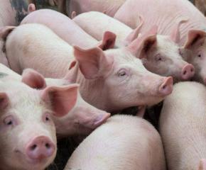Евтаназираха заразените с АЧС прасета в с. Боров дол