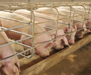 Ежедневен официален контрол влиза в свинeфермите в страната