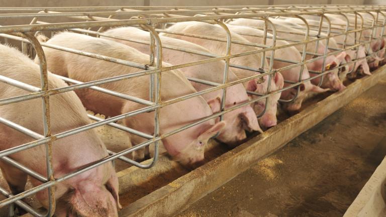 Eвтанизирането на животните, болни от африканска чума, е една от мерките. Другата е ежедневен официален контрол в свинефермите в цялата страна. Ще се следи...