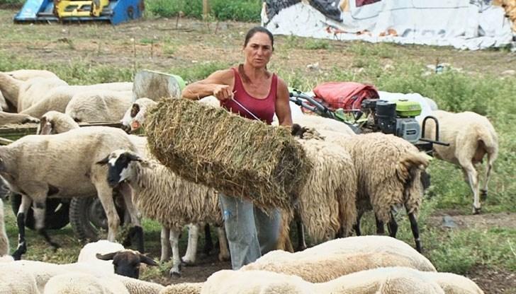 Регистрацията на обекта на Ана Петрова от Болярово, която преди две години не допусна стадото й да бъде унищожено, заради огнище на чума по дребните преживни...