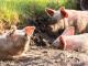 Фермерите, незаклали прасетата си, предадени на прокуратурата