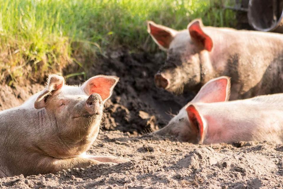 16 стопани в различни села на петте общини в област Ямбол, които не са спазили заповедта за доброволно умъртвяване на прасетата, са получили актове за...