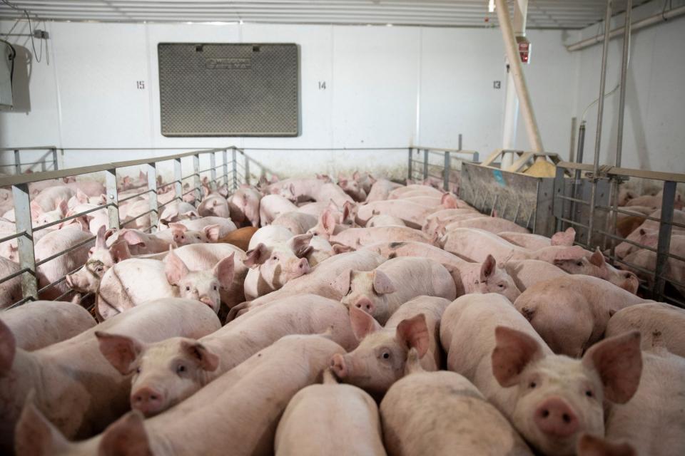 Всички индустриални свинекомплекси в Република България вече могат свободно да търгуват месото, произведено в местни ферми и на европейския пазар, освен...