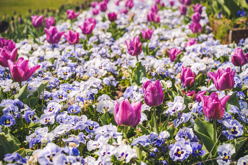 Цветница е, подвижният християнски празник, който се почита седмица преди Великден, в неделя след Лазаровден. Нарича се още Връбница. Пада се в шестата...