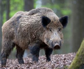 Инфектирани с АЧС диви прасета откриха край Котел
